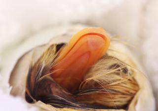 Enteneier ausbrüten und Küken bekommen