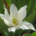 Petite tulipe perroquet.