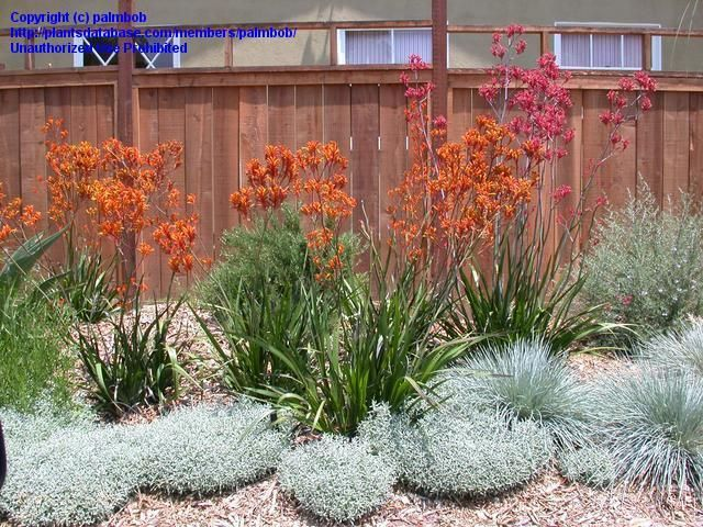 This orange kangaroo paw shown here is beautiful. It says the grassy part is evergreen 2 - 3' tall, and when flowering the whole plant is 4-5' tall, and it needs full sun.