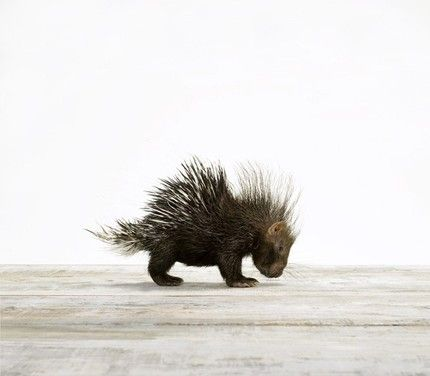 If he wasn't so prickly, I'd totally give this baby #porcupine a big, squishy hug! #squee