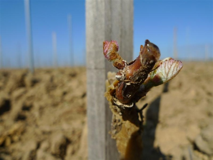 A new vine, planted last year, is awaking smoothly