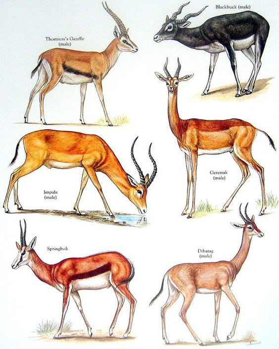 Thomson's Gazelle, Male Impala, Black Buck, Springbok, etc. Vintage 1984 Animal Book Plate: