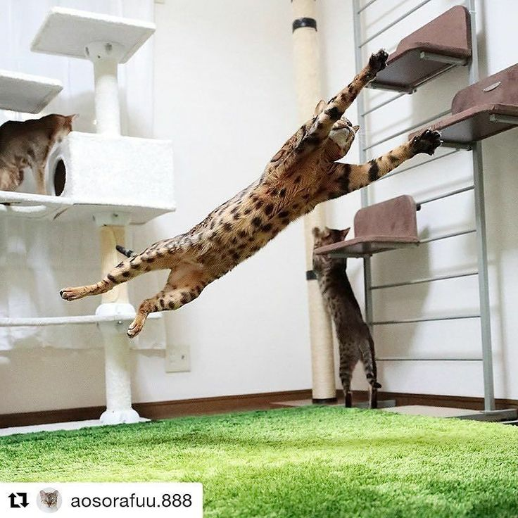 Excelente fotografía  #Repost @aosorafuu.888 (@get_repost)  Soccer Goalkeeper Riku-chan Its unlimited in the limit. When exceeding the limit the next limit is born  Nyanchester United Football Club Goalkeeper Bengal cat : Riku-chan  限界に限界はないだから一つの限界を超えると次の限界が生まれてくる 人生においてはほんの小さなことに足元をすくわれることが多々あります 普段から油断せず努力や準備を怠らないことできることを丁寧にこなしていくことが重要なのだと思います  #bengal #snowbengal #cat #animal #IG_Bengals #catofinstagram #catloversclub #catoftheday #sweetcatclub #Cat_Features #INSTACAT_MEOWS…