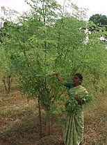 Stunning Moringa Farms provides valuable information on how to grow for home use and for munity operations
