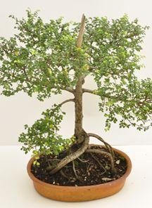 Bonsai Boxus, Edad: 9 años, Medidas Aproximadas 56 cm de Alto X 39 cm de Ancho, Un Bonsai es la mejor muestra de amor, Magenta flores cuenta con un amplio portafolio de servicios ideal para cualquier ocasión, contamos con servicio a domicilio en la ciudad de Bogotá. http://www.magentaflores.com/productos/bonsai/details/145/19/bonsais-en-bogot%C3%A1-tienda-de-regalos-online%7C-venta-de-bonsai/bonsai-boxus.html