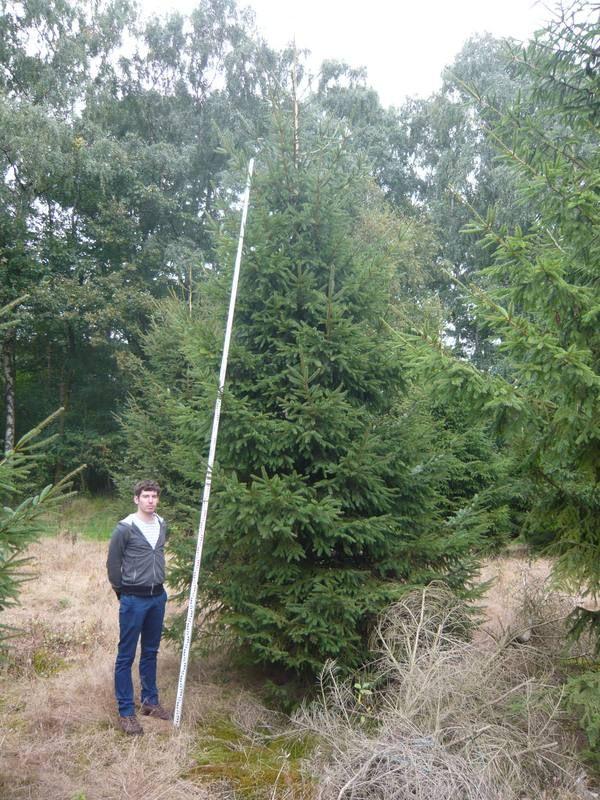 Auch die Fichte / Rottanne Picea Abies eignet sich gut als Outdoor-Weihnachtsbaum. Hier die Größe 600cm.