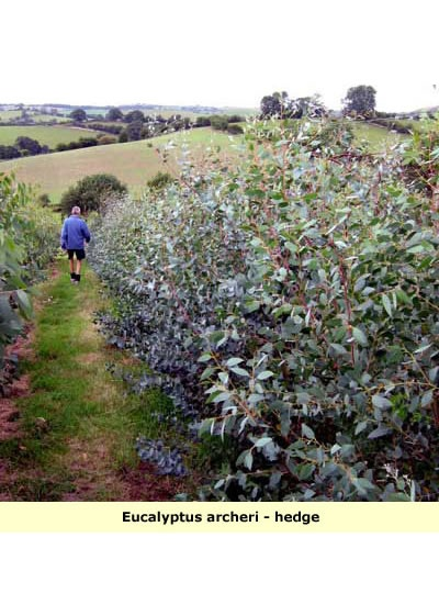 eucalyptus archeri hedge