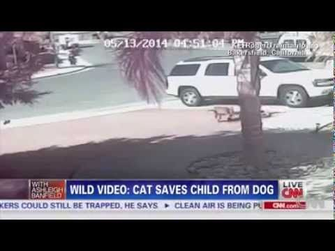 Cat saves kid from vicious dog attack Amazing Surveillance Video  http://www.sunnyislesbeachbroker.com/