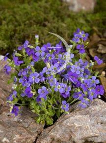 Aubrieta 'Blaumeise' Deze vaste plant is een vrolijke voorjaarsbloeier. Zij komt vooral tot haar recht aan de borderrand, in de rotstuin, op muurtjes en langs tuinpaden.   Grondsoort:  Aubrieta's stellen weinig eisen, ze groeien nog goed als ze over weinig grond beschikken.  Wintergroen/ bladhoudend Rotsplant Kalkminnende plant Kleur:Blauw/Paars Bloeitijd: april t/m mei   Muurbeplantingen en steenvoegen Vochtigheid:vochthoudende grond Hoogte:10cm Zon, halfschaduw, schaduw:Zon / Halfschaduw