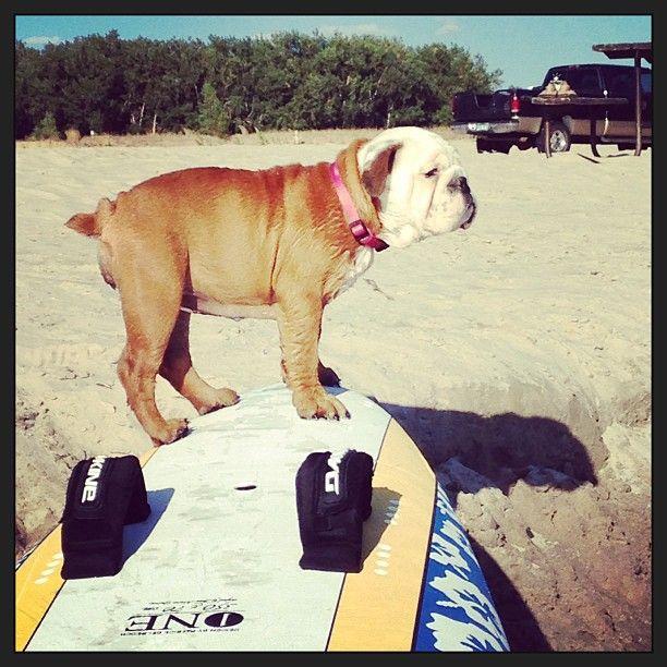 Dog on a KONA windsurfboard