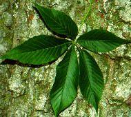 Ohio Buckeye Leaf