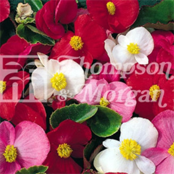 Winter Flower Seeds, Flower Seeds, Flower Seeds Online, Begonia Lotto F1  50 seeds Half hardy annual Excellent for baskets, containers, and window boxes INR 200  Ex Tax: INR 200