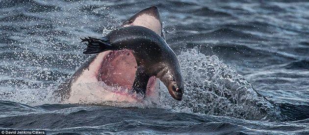 ¡Asombroso! Vea como una foca escapó de los dientes de un gran tiburón blanco