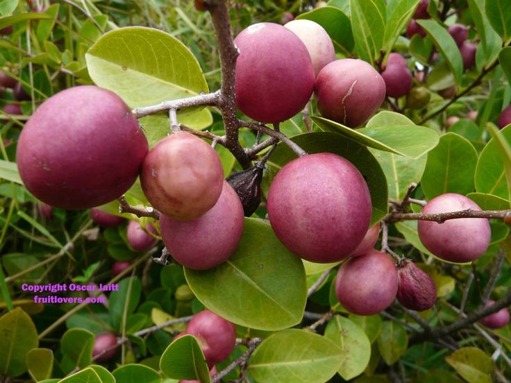 Cocoplum (Hicaca): Rare Fruit Seeds and Exotic Tropical Fruit Seeds