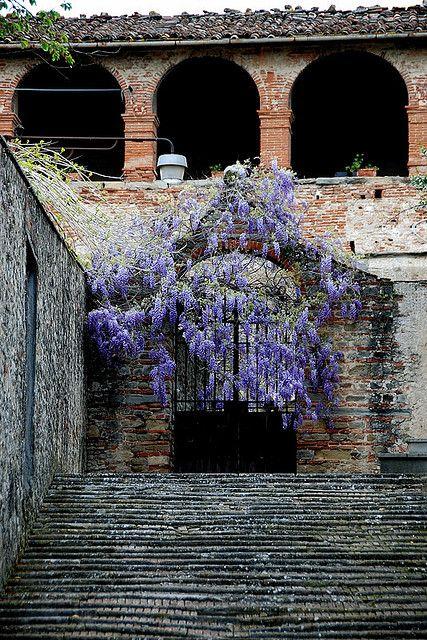 Glicine alla Fortezza Sansepolcro, Toscana