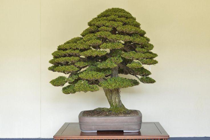 bjorvala bonsai studio hinoki cypress bonsai garden bonsai bonsai art