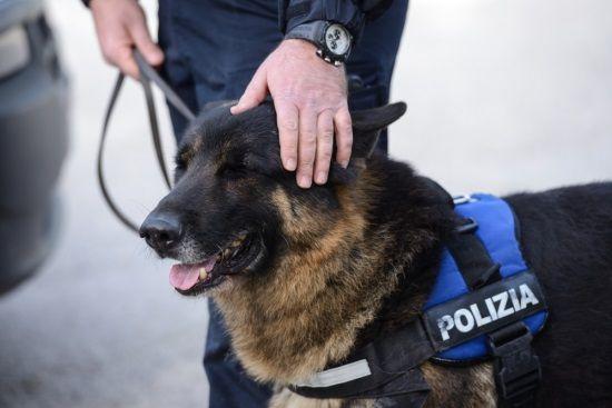 Droga nelle scuole, arrivano i cani poliziotto. Controlli nel Casertano a cura di Redazione - http://www.vivicasagiove.it/notizie/droga-nelle-scuole-arrivano-cani-poliziotto-controlli-nel-casertano/