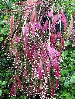 Red Rhipsalis which is one of my favorite and eye-catching hanging basket plants. This Rhipsales ramulosa is part of the cactus family but h...