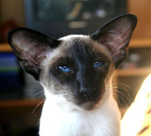 Siamese cat, had another lovely siamese like this while growing up named punkin, she used to talk constantly to you.  She got hit by a car. My father believed in putting the cats outside as well as being indoors cannot tell you how many cats we lost do to cars.  Ours never went outside.