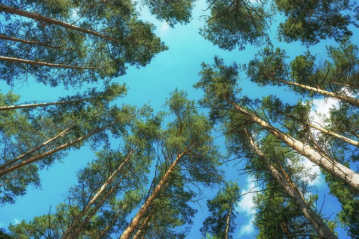 Nature Photograph - Pine Trees Rest Against The Sky by Mariia Kalinichenko #MariiaKalinichenko
