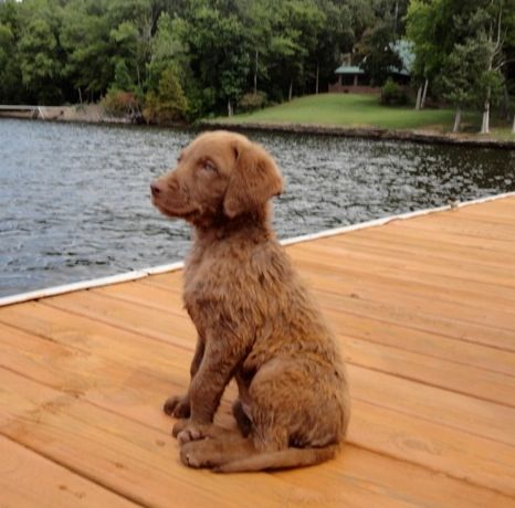 8 week old Chesapeake Bay Retriever.