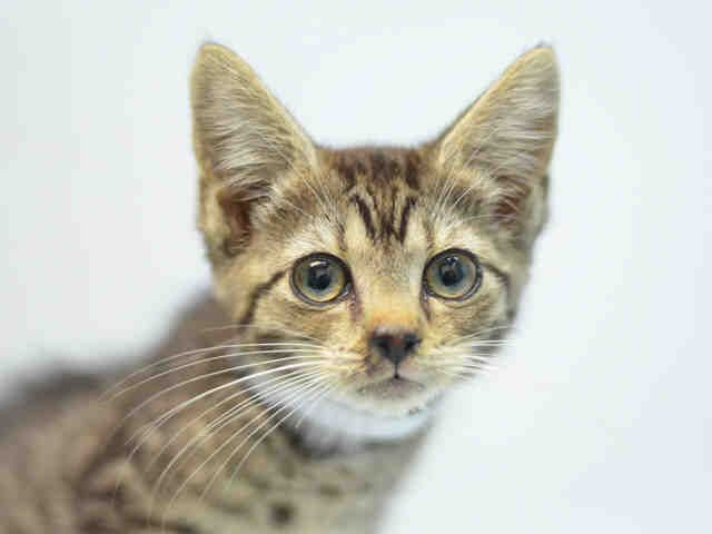 SCARLETT - A1123034 - - Brooklyn  ***TO BE DESTROYED 08/26/17***  CUTE KITTEN WITH A COLD NEEDS A HERO TONIGHT!  Sweet little SCARLETT is a 7 week old kitten who is underweight, has a URI.  Came in with sibling Beebalm who is not listed tonight. FOSTERING will give Scarlett a temporary home til she can get over the cold and be adopted.  PLEASE OFFER TO HELP THIS KITTEN BY CONTACTING A NEW HOPE RESCUE BY NOON!!. -  Click for info & Current Status: http://nyccats.urgentpodr