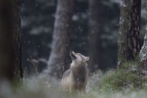 #snow #wolf #forest #trunks