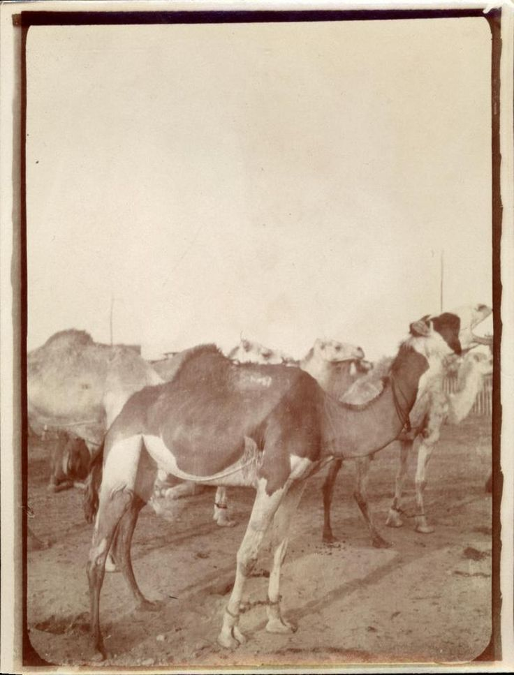 snapshot Méharée désert dromadaire Algérie Afrique mai 1930 voyage