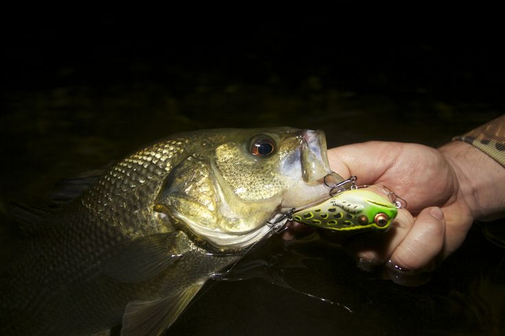The Rebel Frog-R and a beautifully coloured Australian Bass