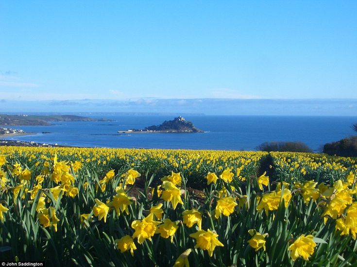 Seas of colour: The brilliant glow of daffodils contrasts against the blue sky and sea amid the stunning backdrop of St Michael's Mount, Cornwall