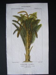 Sago Palm. Hand colored copperplate engraving .Turpin. 210 x 120 mm