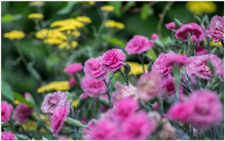 Carnation Flowers Wallpaper | carnation flower hd wallpaper, carnation flowers wallpapers