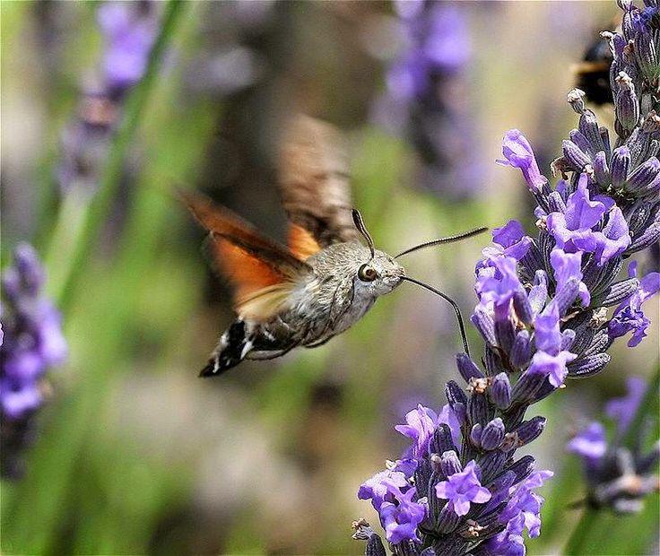 NAŠE ZAHRADY: Dlouhozobka svízelová navštěvuje květy co jsou pro...