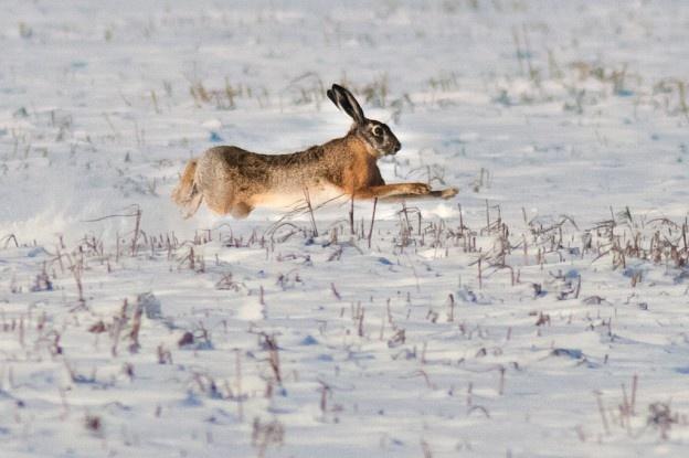 Direcția Silvică Vrancea repopulează fondurile de vânătoare în Italia cu iepuri autohtoni. Acțiunea este profitabilă. Pentru fiecare iepure în parte Direcția Silvică Vrancea, primește 90 de euro.
