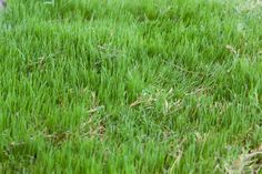 Bermuda grass is an adaptable warmseason turf that many people use for their lawns. Learn more about how and when to plant Bermuda grass in the following article. Click here for more info.