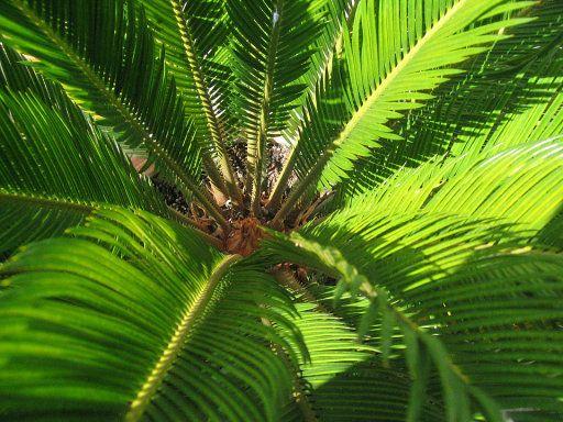 Palmera de Sagú, la falsa palmera