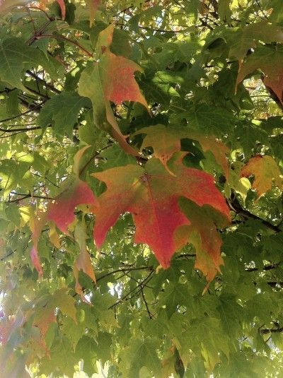 Info About Maple Trees: Tips For Planting Maple Tree Seedlings - Maple trees come in all shapes and sizes, but they all have one thing in common: outstanding fall color. Find out how to grow a maple tree in this article. Click here for more information.