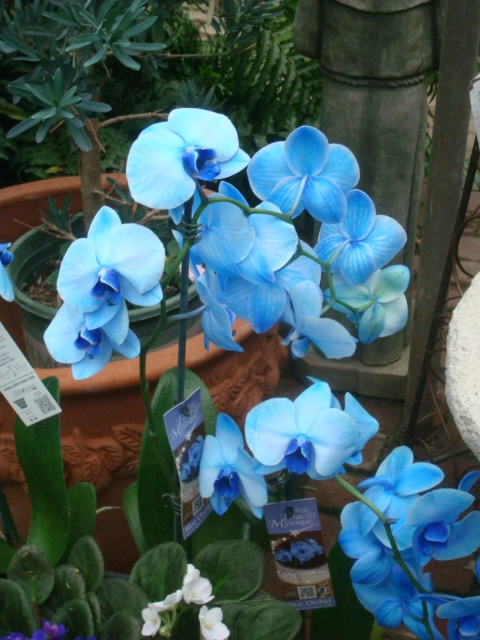 14 Best Mystique Orchids Images On Pinterest Blue