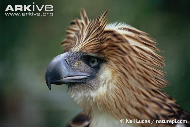This is the first in a new weekly installment of endangered species around the world. Here we have the Philippine Eagle and it is as unique as it is rare.