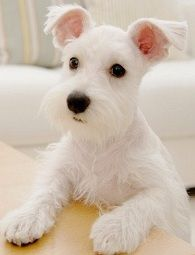 OH MY What a Sweet and Adorable White Mini Schnauzer