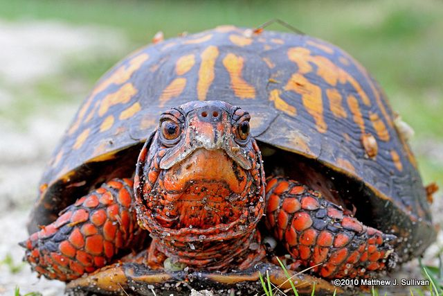 Eastern Box Turtle....love this bright orange color on him/her