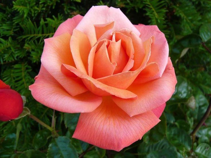 Troika (aka Royal Dane) ~ Hybrid Tea Rose