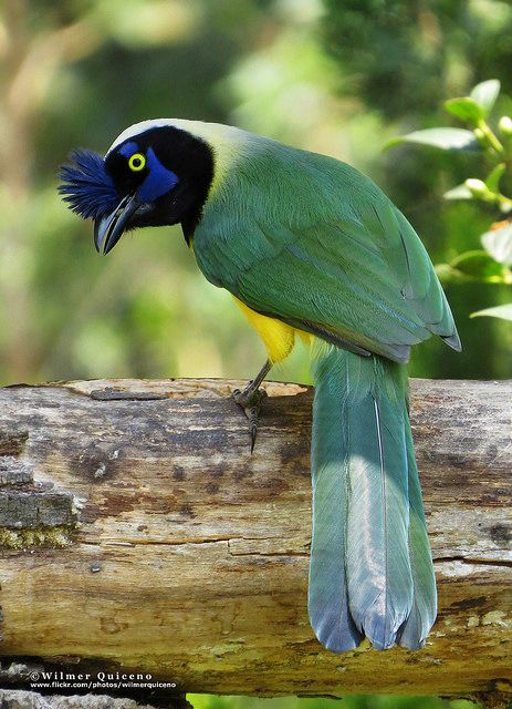 Inca jay, Cyanocorax yncas | ©Wilmer Quiceno   (La Ceja, Antioquia, Colombia)