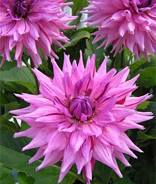 """Dahlia Dinnerplate 'American Dream' - The showoff of all flowers with blooms that are 8-10"""" across and 40"""" in height. Outstanding."""