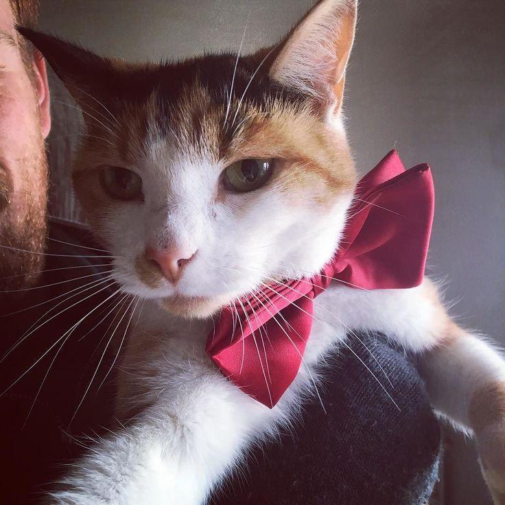 Baby wasn't so keen on her new collar... #cat #kitten #baby #furbaby #collar #bowtie #cute #sweet #love #gorgeous