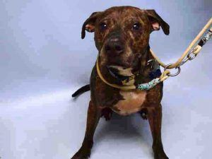 SUPER URGENT 03/2017 POOCHIE – A0802376  **RETURNED 04/05/17**  NEUTERED MALE, BR BRINDLE / WHITE, PIT BULL MIX, 8 yrs OWNER SUR – AVAILABLE, HOLD RELEASED Reason MOVE2NYCHA Intake condition EXAM REQ Intake Date 04/05/2017, From NY 11223, DueOut Date 04/05/2017