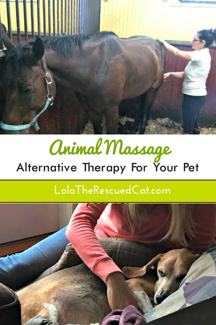 Modern animal massage started in the 1960's.  Equine massage therapy was incorporated into the United States Olympic Equestrian Team training program by the founder of sports massage, Jack Meagher.  It is still regularly used by upper level equestrian athletes. Further, K-9 agility and working dogs reap the benefits of massage to increase flexibility, improve range of motion, and prevent injury.