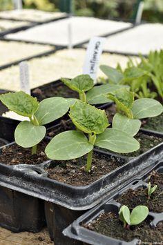 Tous les conseils pour réussir ses semis à coup sûr : repiquez vos semis au bon moment. On dit qu'ils doivent avoir deux feuilles au moins après la levée.