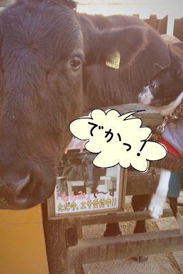 ボストンテリアのカールさんの暮らし: 那須千本松牧場と日光でいっぱい遊んだよ!