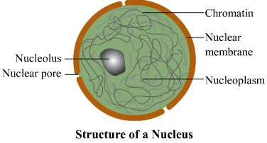 5 Main Parts of Nucleus | Biology